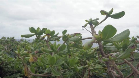 Landscape view of the sea/beach plant with the background of the tropical sea of pacific in Okinawa, Japan - cape hedo