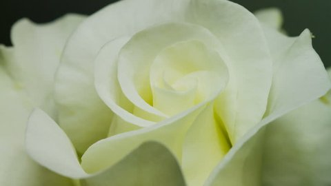Timelapse,Close up of opening yellow rose, blooming yellow roses, beautiful animation, FULL HD