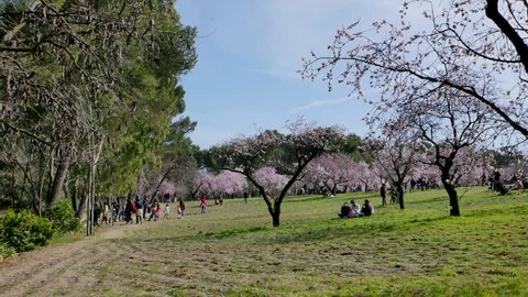 Madrid / Spain - 02 23 2019: People walk between blooming almond trees in spring. Blooming almond tree flowers close up at Quinta de los Molinos city park at Alcala street in Madrid, Spain.