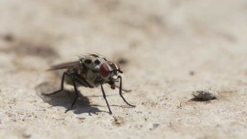 Fly Insect Macro Video Stock Footage Video 100 Royalty Free 1024791743 Shutterstock