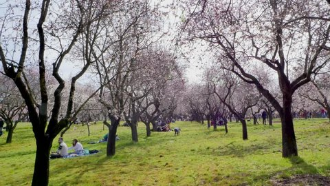 Madrid / Spain - 02 23 2019: Walking between blooming almond trees with pink flowers at the park of Quinta de los Molinos in Madrid, Spain in spring. Famous park in Madrid with blooming almond trees.