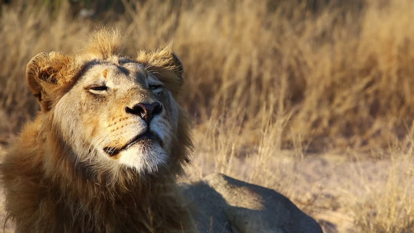 A Young Male Lion Showing Signs of Drowsiness as He Begins to Fall Asleep While Laying Down in Greater Kruger National Park #1025135873