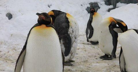 Hokkaido,Japan - Feb 27, 2019 : The penguins in Asahiyama zoo, Asahikawa Town, Hokkaido, Japan.