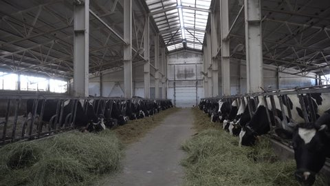 Modern farm barn with milking cows eating hay/Cows feeding on dairy farm/Cows in cowshed/Calf feeding on farm/Livestock on farm/Agriculture industry/Milk farm