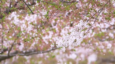 Cherry Blossoms Shower in Spring Wind