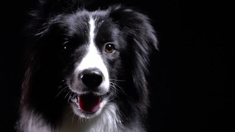 Close up of a border collie dog drooling, black background