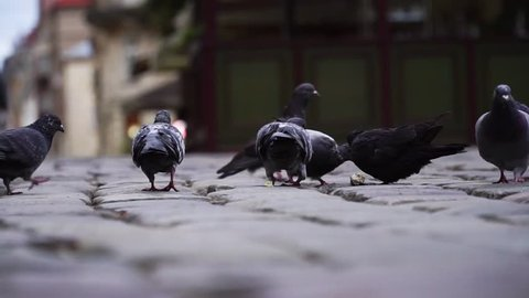 Group of pigeons peck on the pavement, close up.