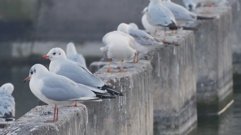 Image with a Group of White Seagulls Resting near a Watercourse