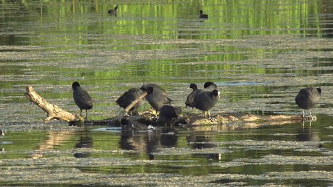 common coots birds, sunbathing and cleaning their feathers on the trunk adrift in the marsh