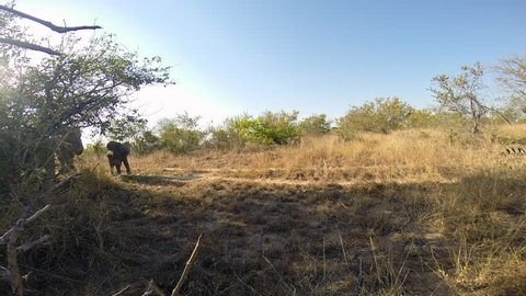 Mother and playful baby calf elephant walking/ing around at the Greater Kruger National Park (point of view shot)