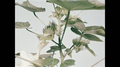 1950s: Buds on plant bloom into white flowers. White flowers on plant bloom.