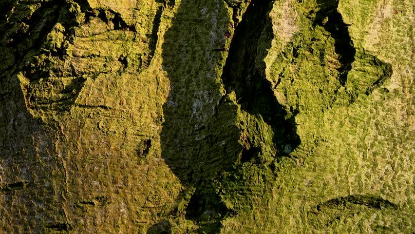Large Beech tree panning upwards background texture UK 4K | Shutterstock HD Video #1025849573