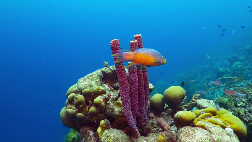 Tropical reef with sea sponges and swimming fish. Colorful underwater video from scuba diving on the reef. Corals, blue ocean and fishes. Marine wildlife in the sea.