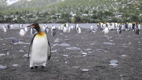 King Penguins, Gold Harbour, South Georgia. Gold harbour is the 3rd largest king penguin colony on the Island of South Georgia.