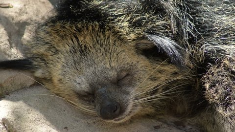 Binturong or Bearcat sleeping peacefully in a natural park - Arctictis binturong