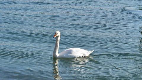 swimming white swan in Rhein river near Basel at afternoon. CH Switzerland
