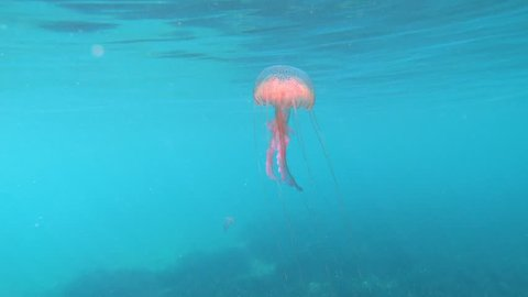 A mauve stinger jellyfish, Pelagia noctiluca, underwater close to water surface in the Mediterranean sea, Spain