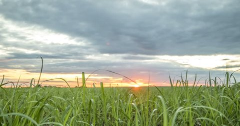 sugar cane plantation sunset view time lapse