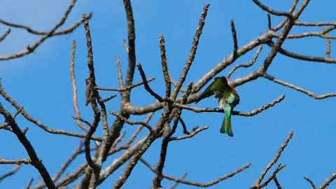 Chestnut-headed Bee-eater sitting on a tree branch and cleaning itself at Khao Yai National Park. Thailand.
