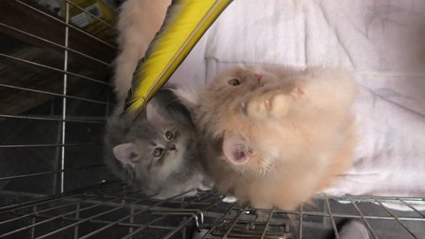 A red Turkish Angora cub cat with green eyes playing and miaowing in the cage in pet store.