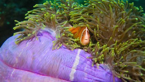Cute clownfish in the purple green anemone. Skunk anemone fish swimming on the reef. Underwater video from scuba diving in the tropical ocean. Reef and fish. Aquatic wildlife footage.