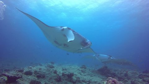 Giant Manta Ray swimming on a cleaning station to get rid of parasites by cleaning wrasses