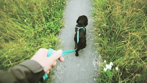 Taking a dog for a walk POV. Person view of a small black dog in focus walking on a narrow path with grass on both sides.