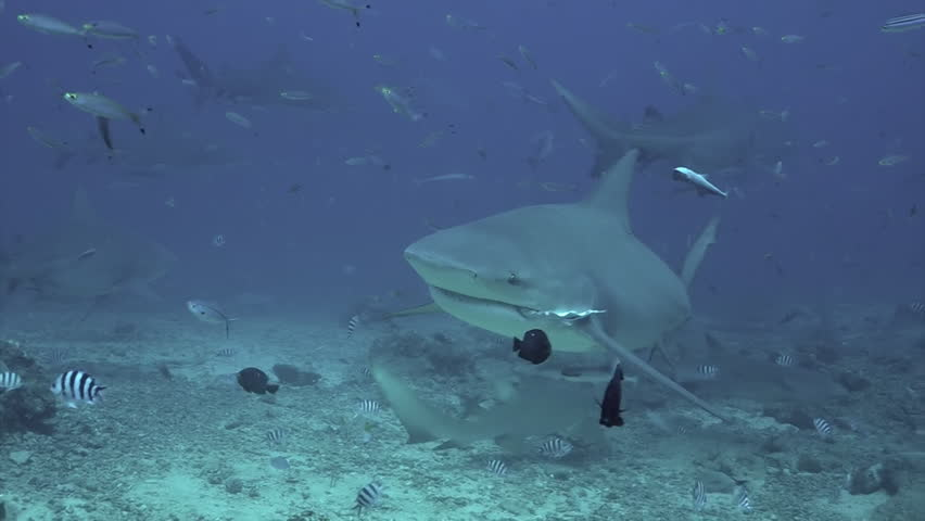 Close-up gray bull shark underwater ocean of Tonga. School of sharks Carcharhinus leucas in underwater marine wildlife of Pacific Ocean.