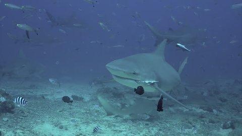 Close-up gray bull shark underwater ocean of Tonga. School of sharks Carcharhinus leucas in underwater marine wildlife of Pacific Ocean.