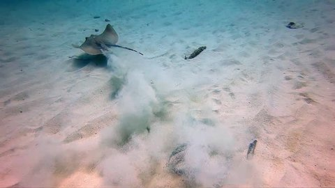 Sting ray shot at 200fps, rising out of sand and swimming away from camera