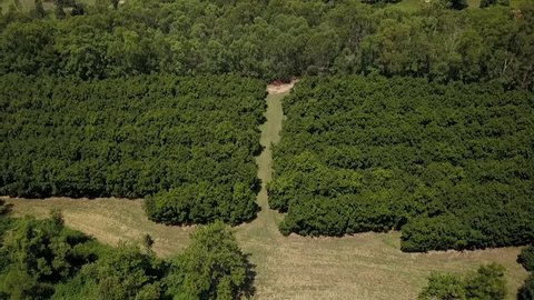 A beautiful aerial drone shot of a macadamia nut orchard farm, revealing a large mountain peak jutting out of the landscape: Mount Tibrogargan.