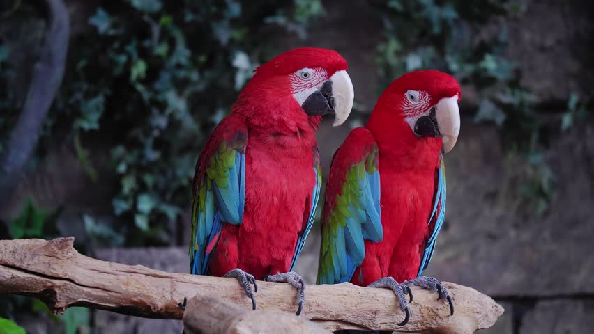 A pair of red and blue macaw parrots. repeat each other's movements | Shutterstock HD Video #1026961523