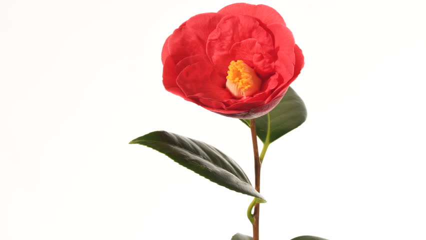 Red Camellia flower bud opening time lapse 4 k. 2 of 3. The flower opens facing the camera. Close up, isolated against a white background, yellow stamens move