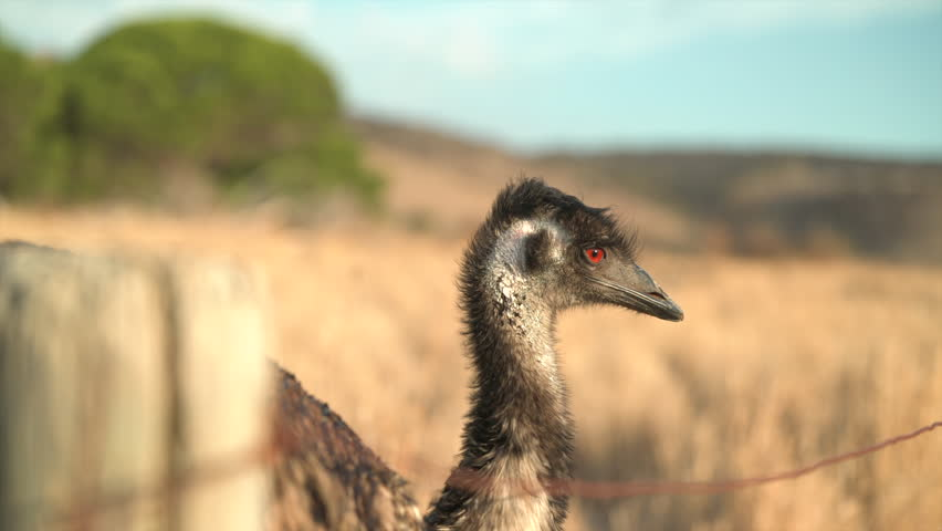 Various Emu shots taken at Sunset on an Emu farm in South Australia. Dry regional Australia.