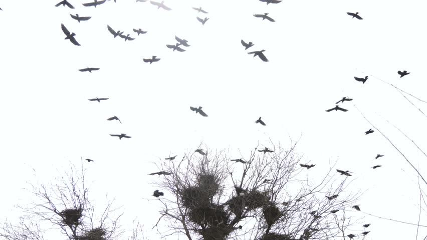 Silhouettes of flying crows over the nest. Cloudy weather. The sad scary picture.   Shutterstock HD Video #1027283813