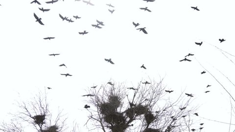 Silhouettes of flying crows over the nest. Cloudy weather. The sad scary picture.