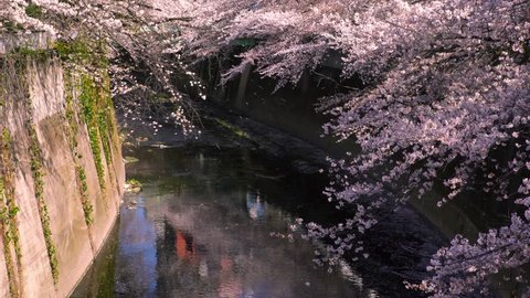 """The scenery of """"Kanda River"""" where the cherry blossoms are in full bloom. The petals dance in the wind and fall to the surface of the river. Shinjuku, Tokyo, Japan."""