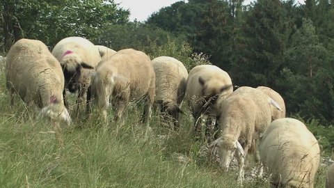 Flock of sheep near Eichstaett in Altmuehltal, Bavaria, Germany.