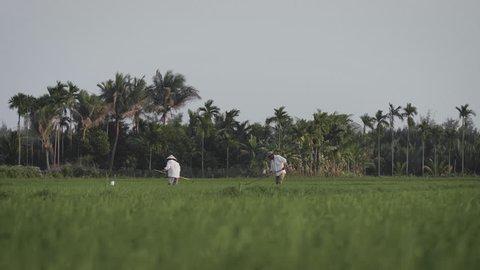 Traditional farm workers harvest / transplant rice seedlings in organic meadow in Vietnam. Wide Shot.