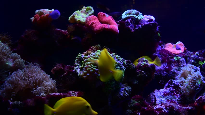 Coral reef aquarium fish anemones close up sea ocean water 4k video
