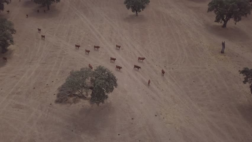 Aerial view of a herd of cattle walking in a hill on Torre de Palma, Monforte, Portugal.