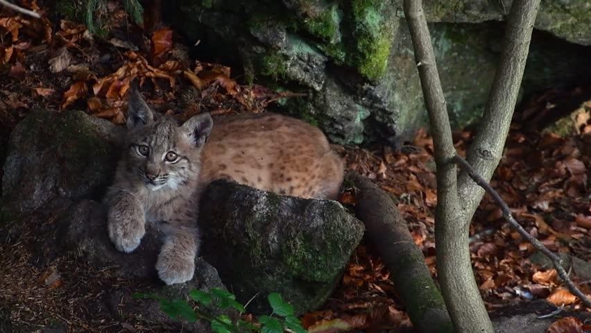 Two months old Eurasian lynx (Lynx lynx) kitten lying on rock near den and grooming fur in autumn forest