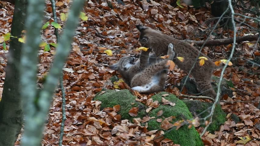 Two Eurasian lynx (Lynx lynx) kittens playing in autumn forest
