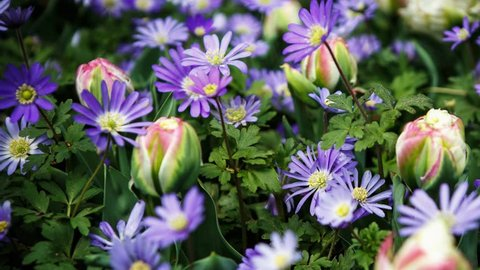 Footage of beautiful colorful blue marguerites flowers bloom in spring garden.Decorative felicia amelloides flower blossom in springtime.Beauty of nature