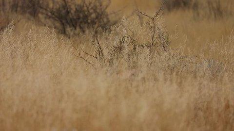Steenbok feeding and walking through high grass in Etosha National Park, Namibia