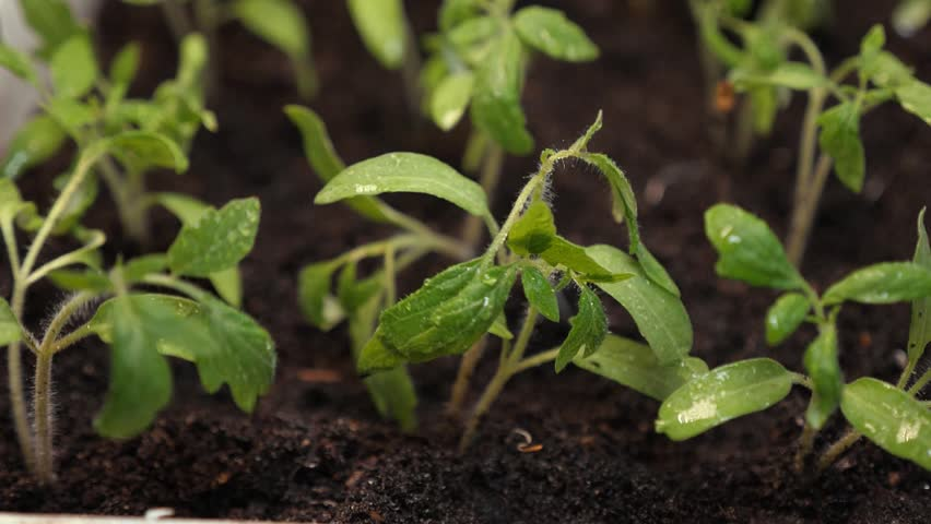 Splashes of water fly to the green shoots. Slow motion. seedlings in the greenhouse watering gardener. farming concept. growing seedlings in the greenhouse. close-up | Shutterstock HD Video #1027596053