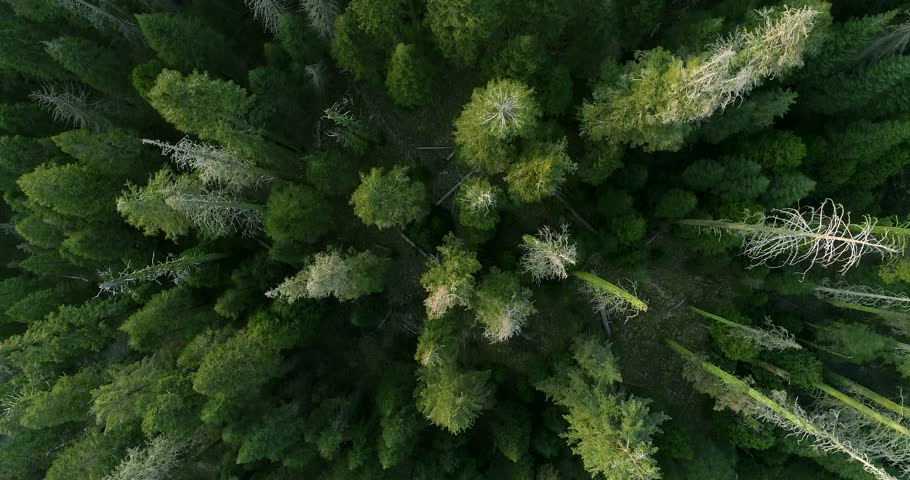 SEQUOIA NATIONAL PARK, CA, USA. Breathtaking scenery of the tall and wide-crowned trees. Top aerial 4K view over the Sequoia Grove. | Shutterstock HD Video #1027597973