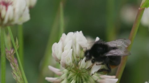Bumblebee on white clover flower