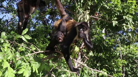 Spider monkeys in the jungle hanging out in trees with a baby monkey and eating fruit - Mexico