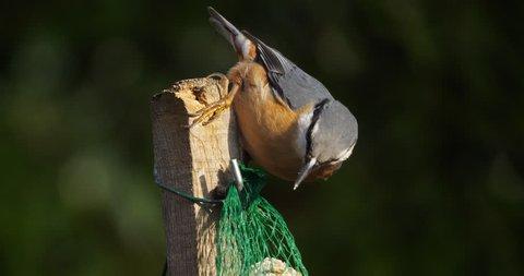 Eurasian nuthatch or wood nuthatch, (Sitta europaea) eating on a birdfeeder
